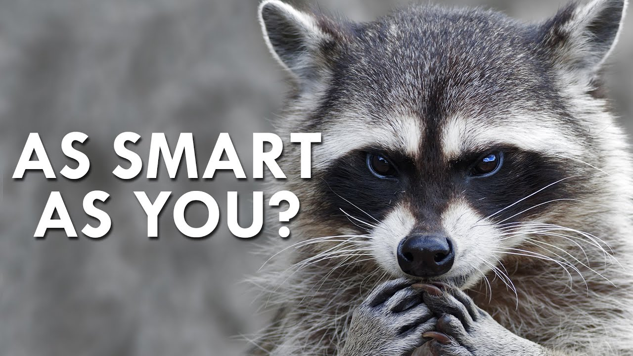 Download Raccoon's Secret Superpower