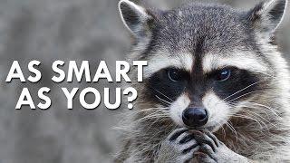 Raccoon's Secret Superpower