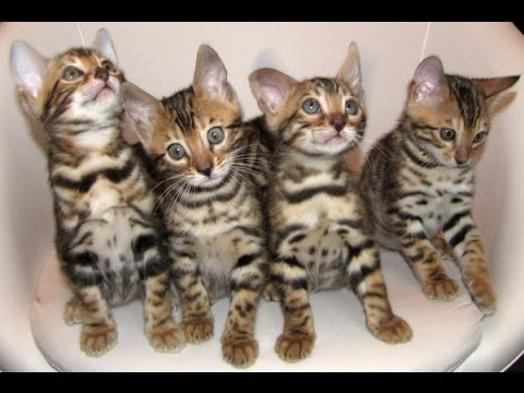 НОВЫЕ КОШЕЧКИ! Приехали котята азиатских леопардовых кошек (АЛК .