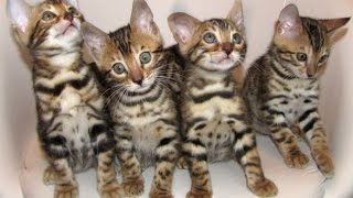 Бенгальские котята. Такие лапочки! Смотреть всем!!!!