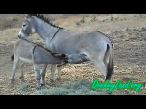 Playful WILD Long Ear Wild Burros ♥♥♥