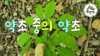 맥반석산양산삼채취 청정숲푸드 약초  산림 임업 농업 약…