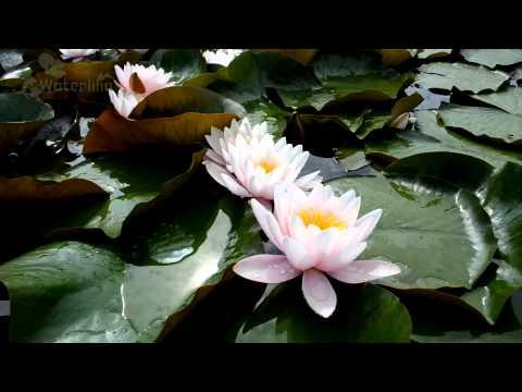 Картинки кувшинки, фотографии водных цветов