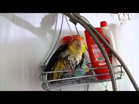 White Bellied Caique Mango showering