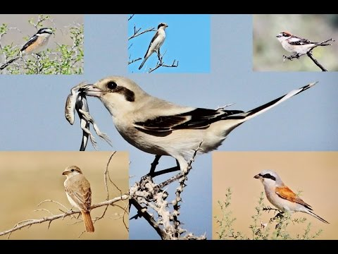 10 minutes documentary about 6 Shrikes of Cyprus by George Konstantinou