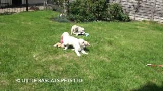 Little Rascals Uk Breeders New Litter Of  Goldendoodle Puppies