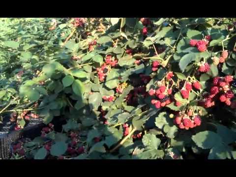 Ежевика: размножение, посадка, уход и способы выращивания