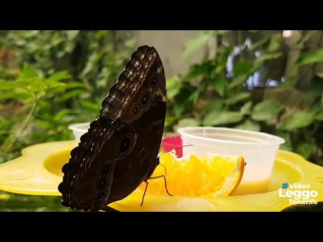 Farfalle a Tenerife  - Mariposario de Icod de los Vinos da visitare