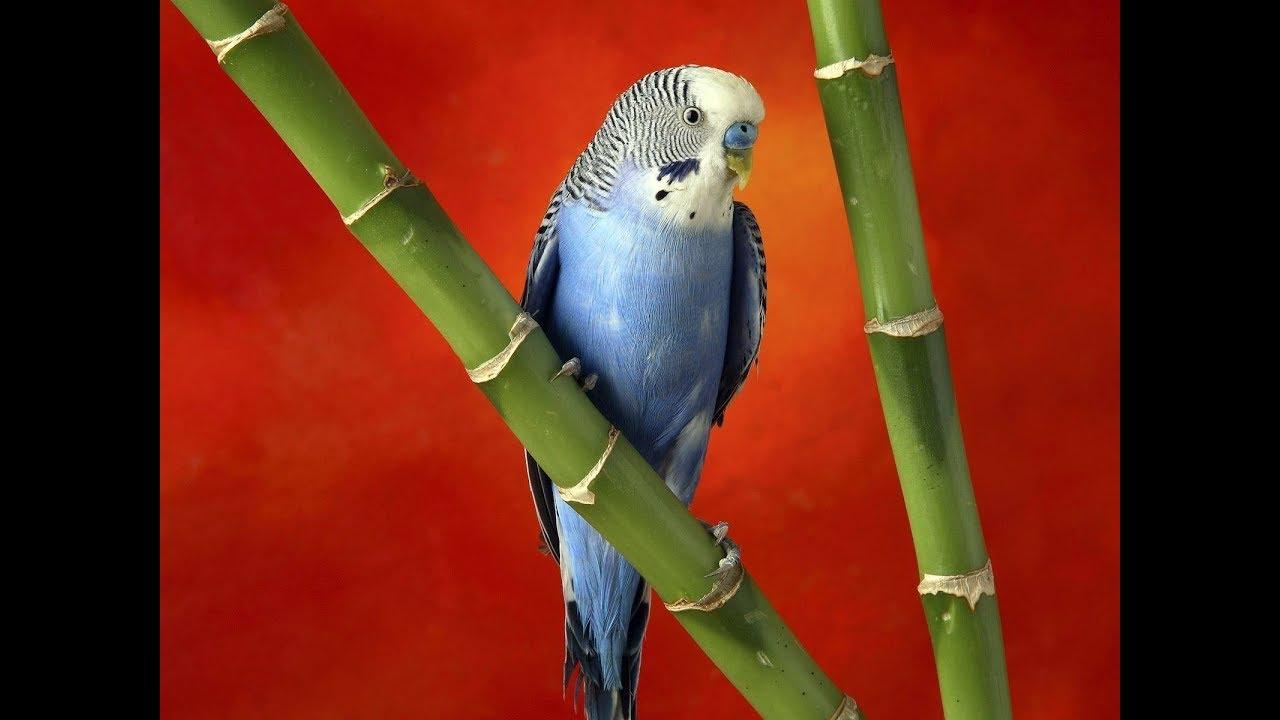 Птенец волнистого попугая, девочка, злато-лицая, опалиновая .