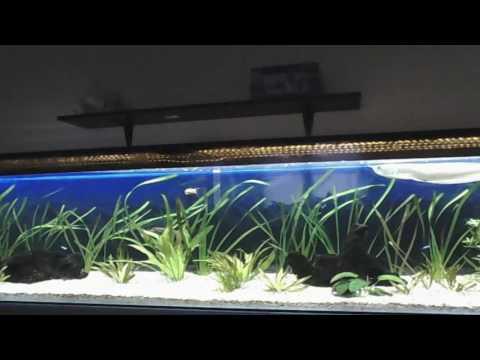 LIVE Planted Arowana Aquarium