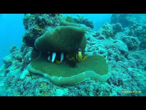 Clark's Anemonefish & Indian Vagabond Butterflyfish