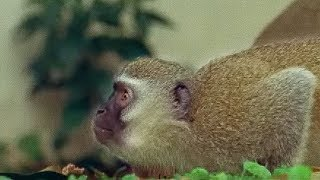 Monkey fight! | Cheeky Monkey | BBC Earth