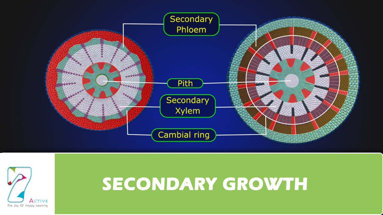 Secondary Growth Youtube