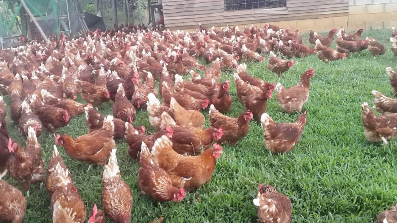 La casita de la gallina costa rica heredia sarapiqui for Como hacer una granja de peces