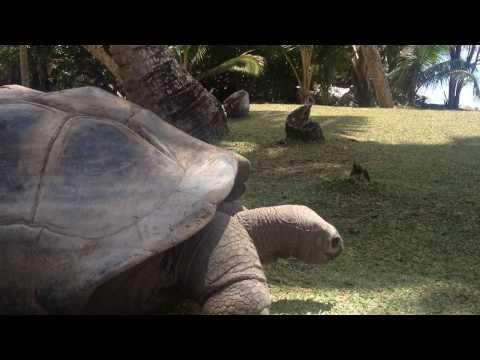 The Seychelles giant tortoise (Aldabrachelys hololissa) - Curieuse