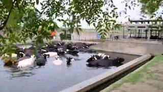 Rizvi Farm imported cows success by Nestle pak