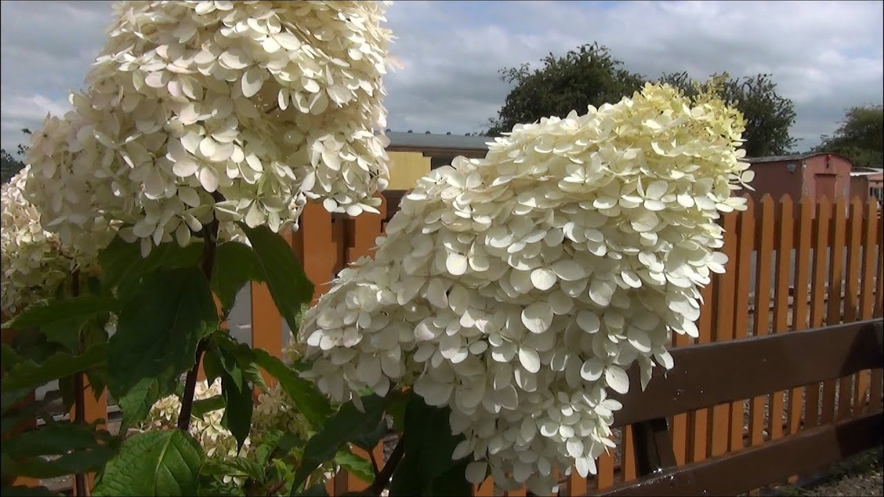 hydrangea paniculata 39 phantom 39 at arley severn valley railway 22 08 15 and kc youtube. Black Bedroom Furniture Sets. Home Design Ideas