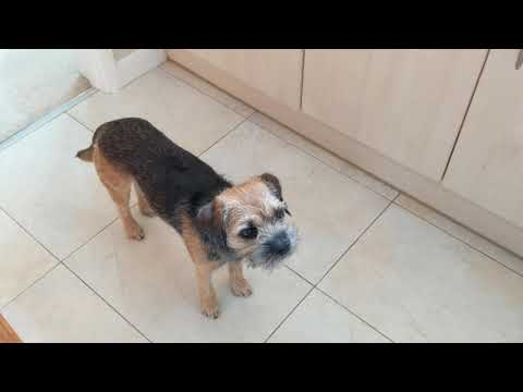 Border terrier Leeloo wakes for brunch.