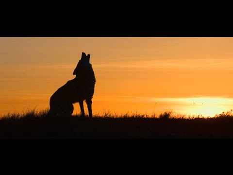 Song Dog - Nature Documentary