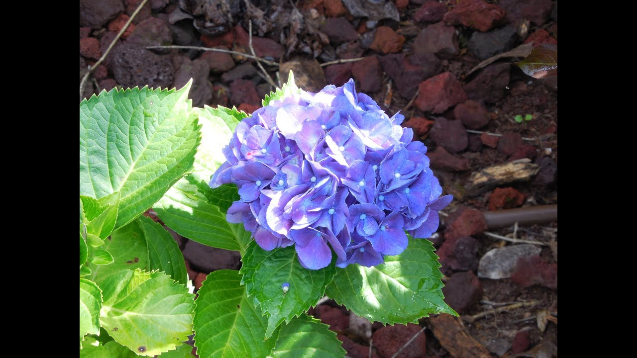 Hydrangea gardening purple flowers perennial nursery home and hydrangea gardening purple flowers perennial nursery home and garden nurseries mightylinksfo