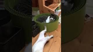 先住猫のアイちゃん  ♀と保護猫のミニラ  ♀のコント?です.