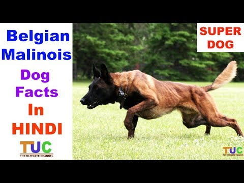 Belgian Malinois Dog Facts in HINDI : Popular Dogs : TUC : The Ultimate Channel