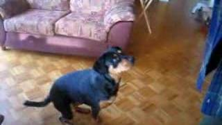 Hot Rottweiler Standing Up