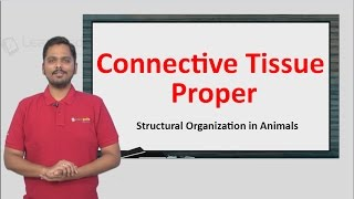 Connective Tissue Proper explained in a simple manner with a solved example. NEET Zoology XI