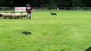 Sheep Herding Training