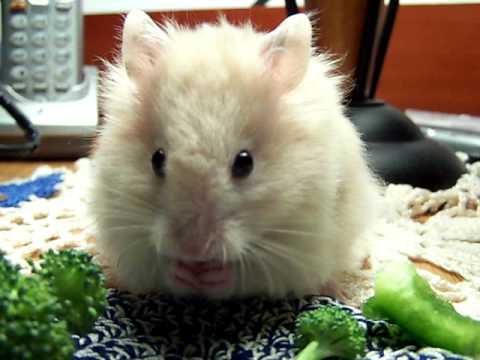 Baby Teddy Bear Hamster Eating Green Bell Pepper - YouTube
