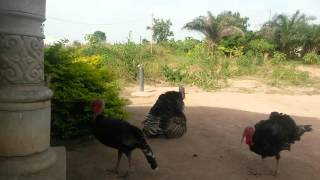 Turkeys having sex