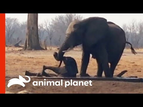 Herd of Elephants Comes Together To Rescue a Baby in Danger | Weird, True & Freaky