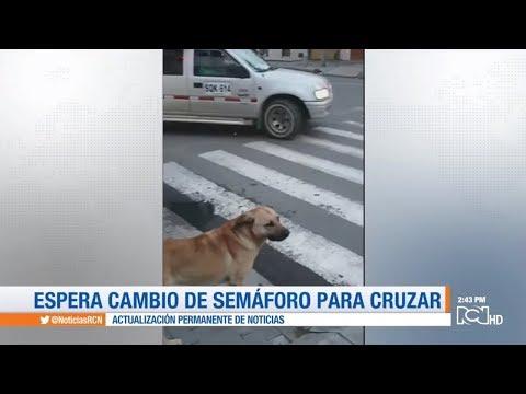 ¡Lección de civismo! Perro espera cambio de semáforo y pasa por la cebra