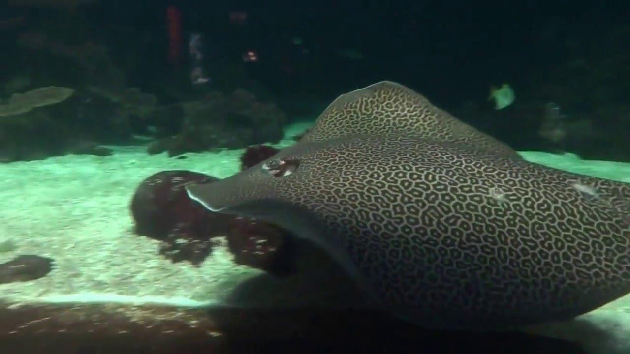 Freshwater aquarium fish vancouver - Stingray Vancouver Aquarium
