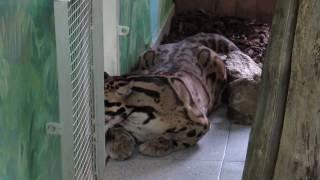 Дымчатый леопард 04.04.17