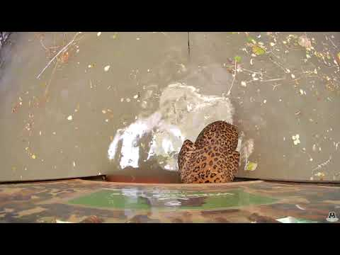 A fight between leopards comes to an end when they fall into a 50-foot well