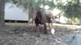Boxer Vs  Chocolate Lab Vs  Pug