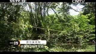 20140731 一线 百万黄花梨