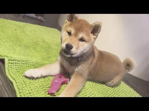 shiba-inu-puppy-tries-nylabone-dinosaur-puppy-chew!