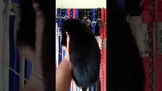 Best Show German Shepard Puppy in Jaipur 7891168827 8503018584