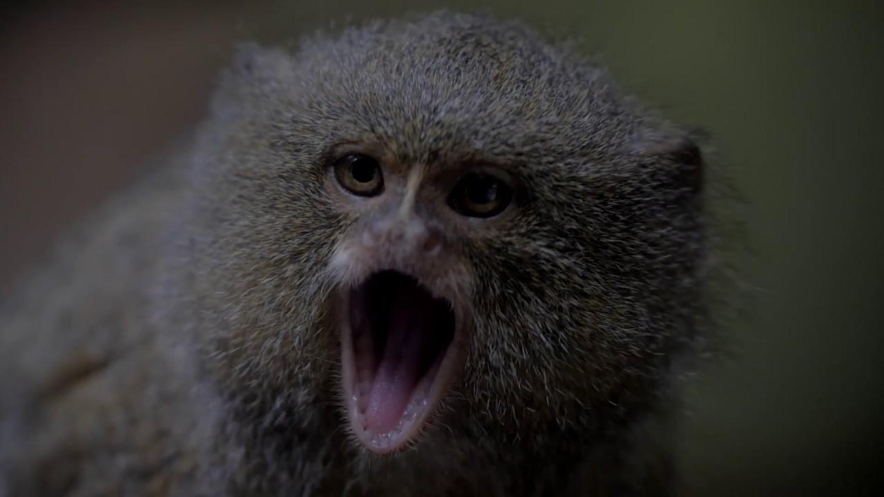 Marmoset - ZooBorns