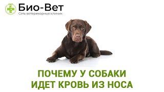 Почему У Собаки Идет Кровь Из Носа & Что Делать Если У Собаки Идет Кровь Из Носа.Ветклиника Био-Вет