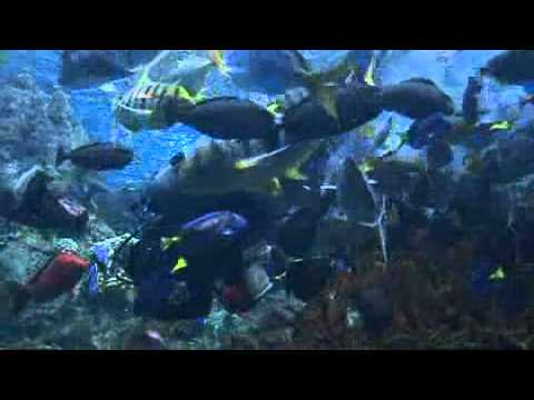 Rare Bowmouth Guitarfish On Display - 2009-05-07