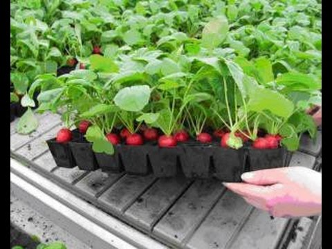 Выращиваем редис на подоконнике. We grow radish on the windowsill.