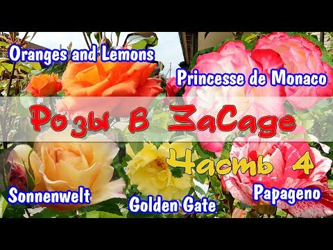 Розы в ЗаСаде: Papageno, Oranges and Lemons, Princess de Monaco, Sonnenwelt, Golden Gate. Часть 4