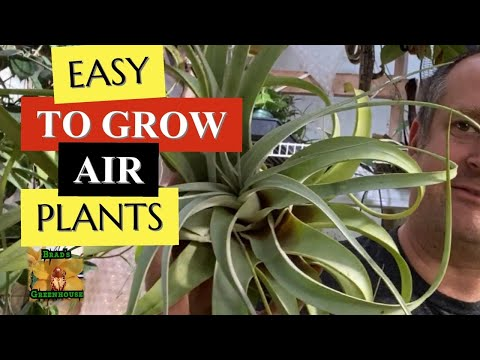 EASY TO GROW AIR PLANTS 😍 xerographica The Giant Tillandsia care tips and tricks for happy growth