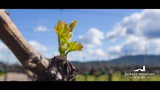 Spring Bud Break with Winemaker Nova Cadamatre