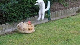 КОТ ПРОТИВ ПЕТУХА или как курица высиживает котят!!!
