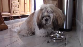 Как кормить щенка-привереду? | История капризного ши тцу