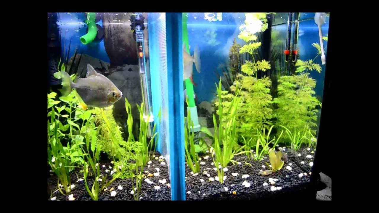 117 tank divider by aqualife youtube for Fish tank divider 5 gallon